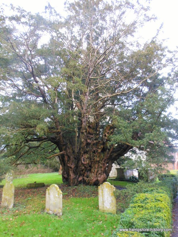 The old yew at Farringdon