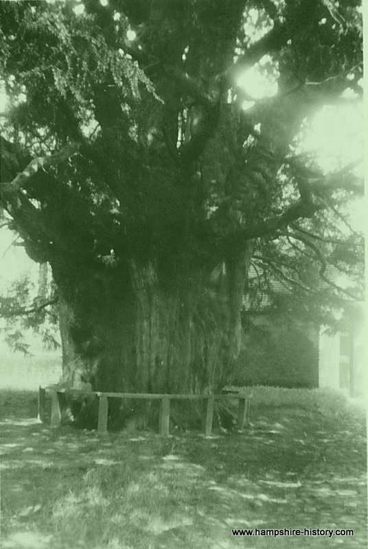 The Selborne Yew in 1932
