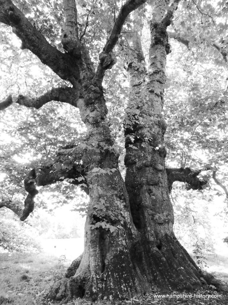 The Old Plane Tree Mottisfont