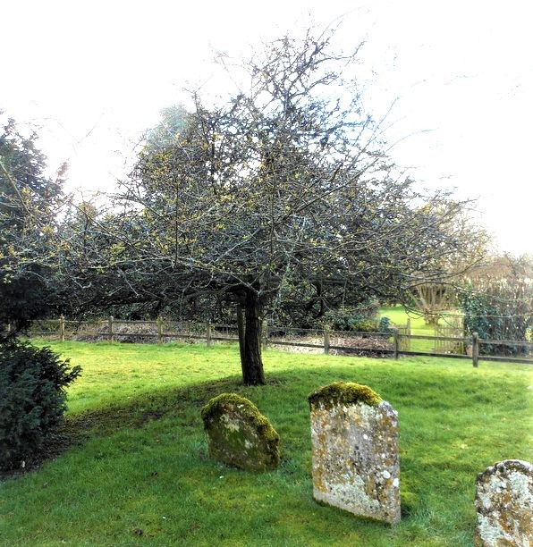 The Bentworth Holy Thorn tree Hampshire